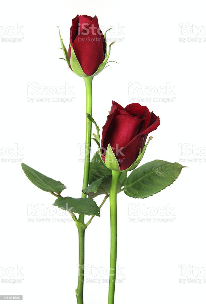 Pair of red roses close up, isolated on white royalty-free stock photo