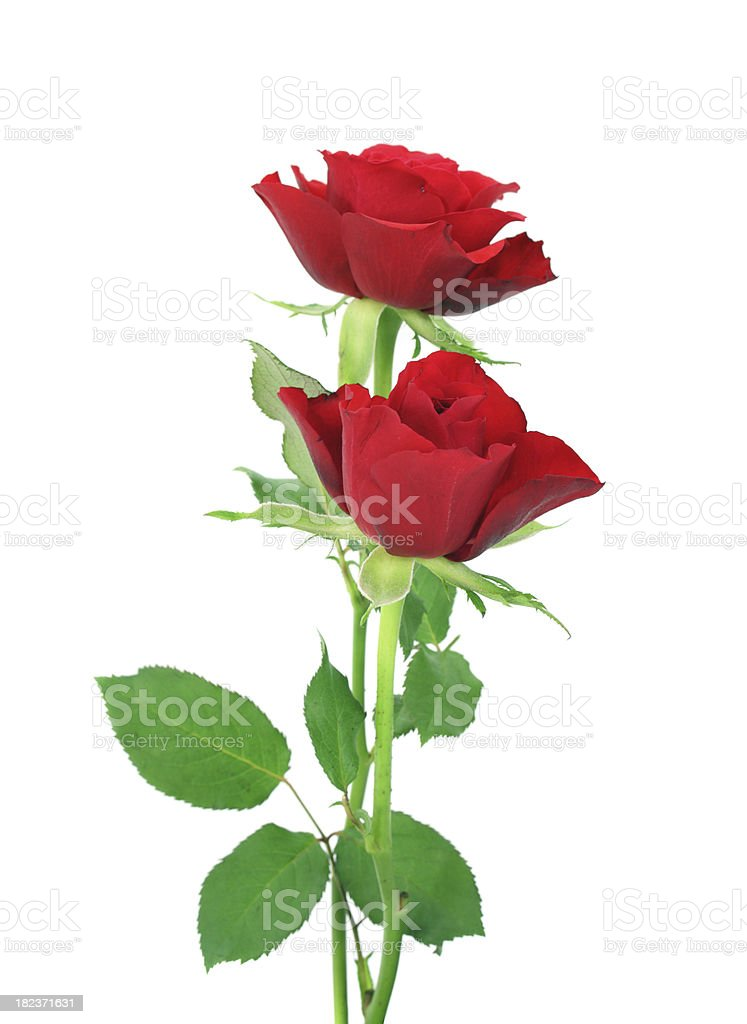 Pair of red roses upright on isolated white background stock photo
