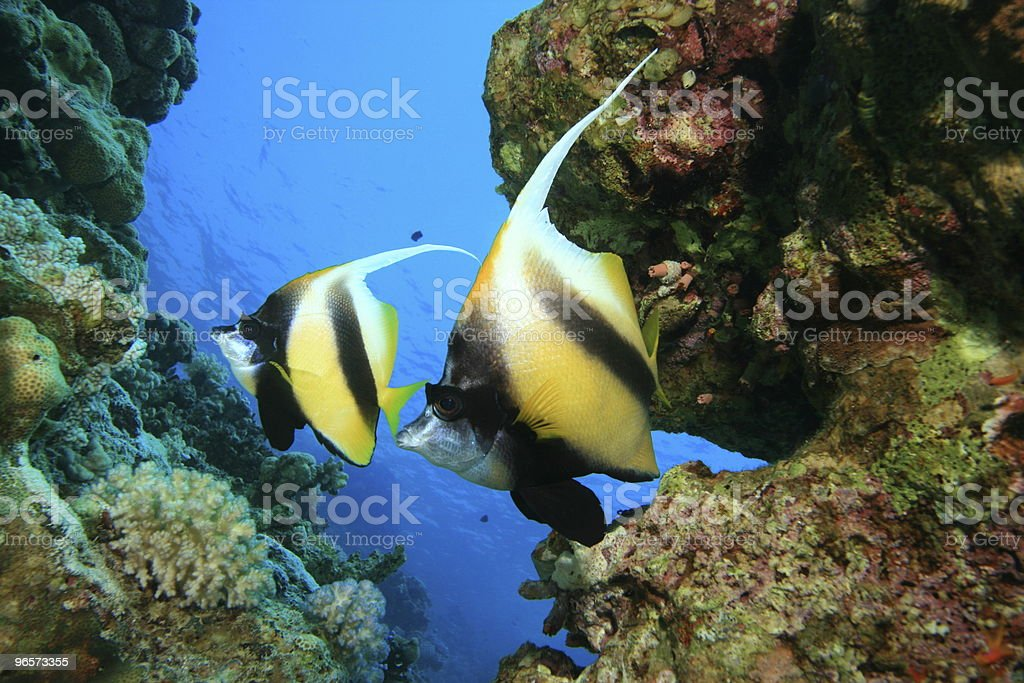 Pair of Red Sea Bannerfish - Royalty-free Achtergrond - Thema Stockfoto
