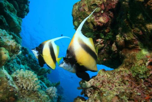 Pair Of Red Sea Bannerfish Stockfoto en meer beelden van Achtergrond - Thema
