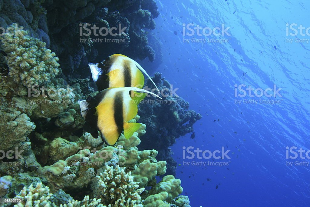 Pair of Red Sea Bannerfish royalty-free stock photo