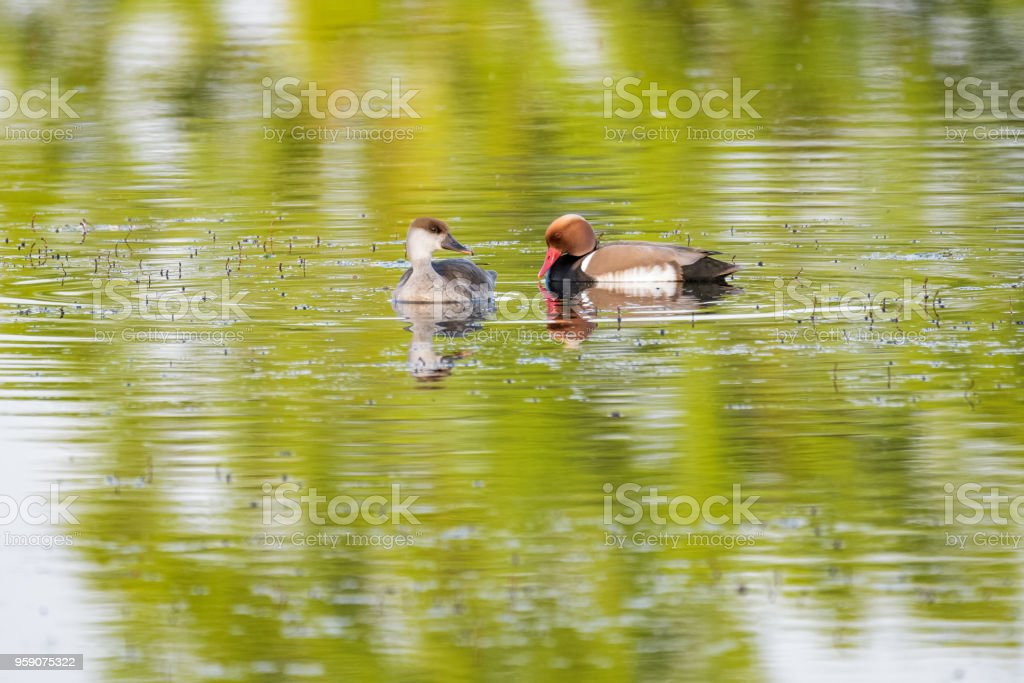 A pair of red-crested pochards swimming on a lake stock photo