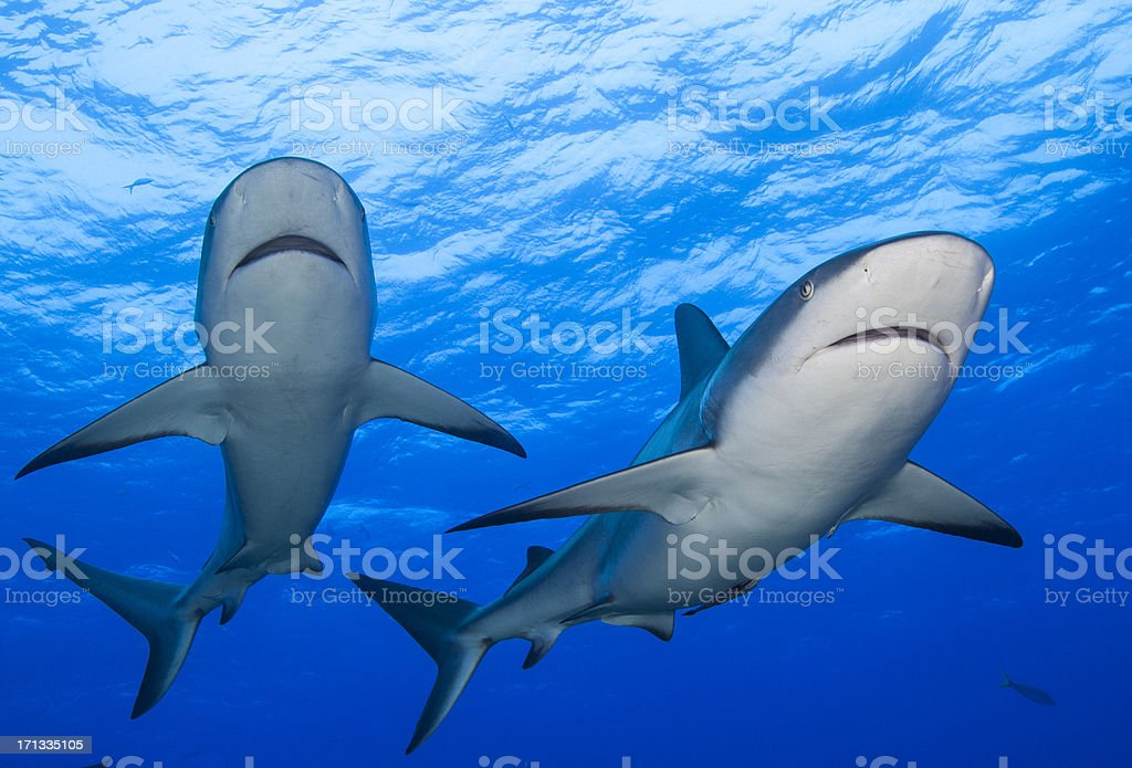 Pair of Reef Sharks stock photo