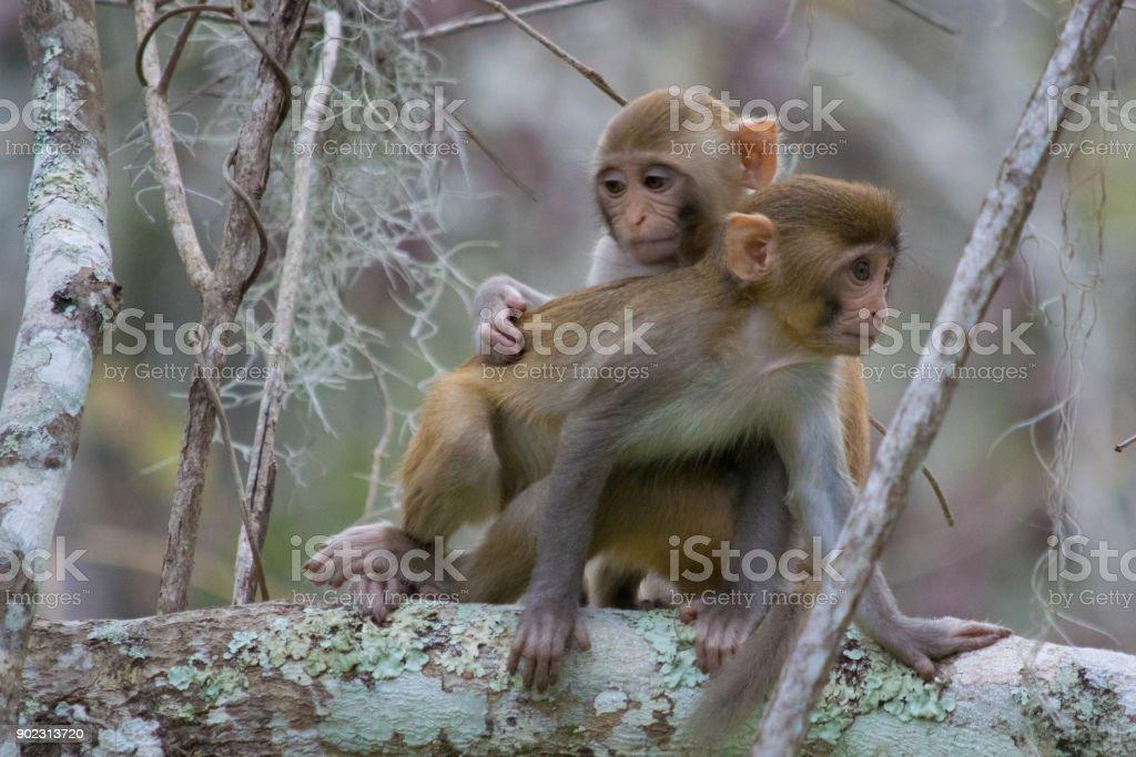 Pair of Rhesus Macaque Monkeys in Silver Springs, Florida stock photo