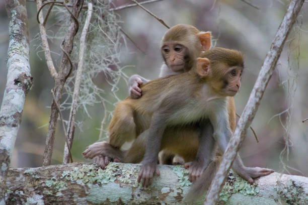 Pair of Rhesus Macaque Monkeys in Silver Springs, Florida A troop of escaped wild monkeys inhabit the swamp along the Silver River in Ocala, Florida. monkey stock pictures, royalty-free photos & images