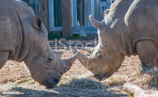 Two Black Rhinos Eating Face to Face