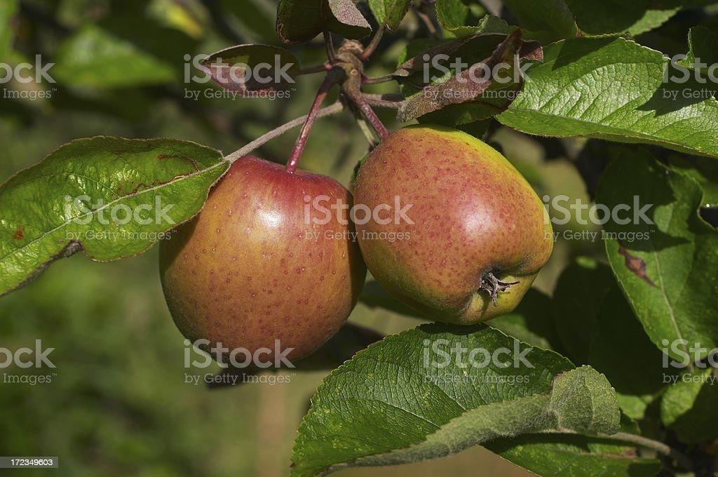 Maduro par de manzanas salvaje foto de stock libre de derechos