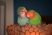 A pair of rosy-faced lovebird parakeets exchanges love and tenderness