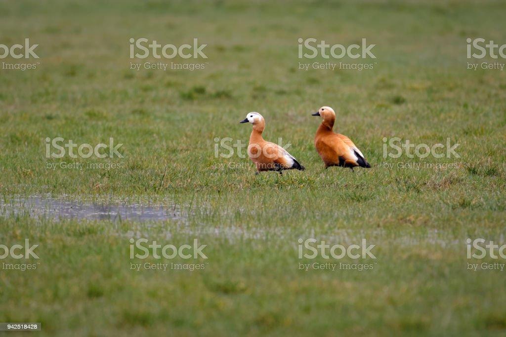 A pair of ruddy shelducks in a field stock photo