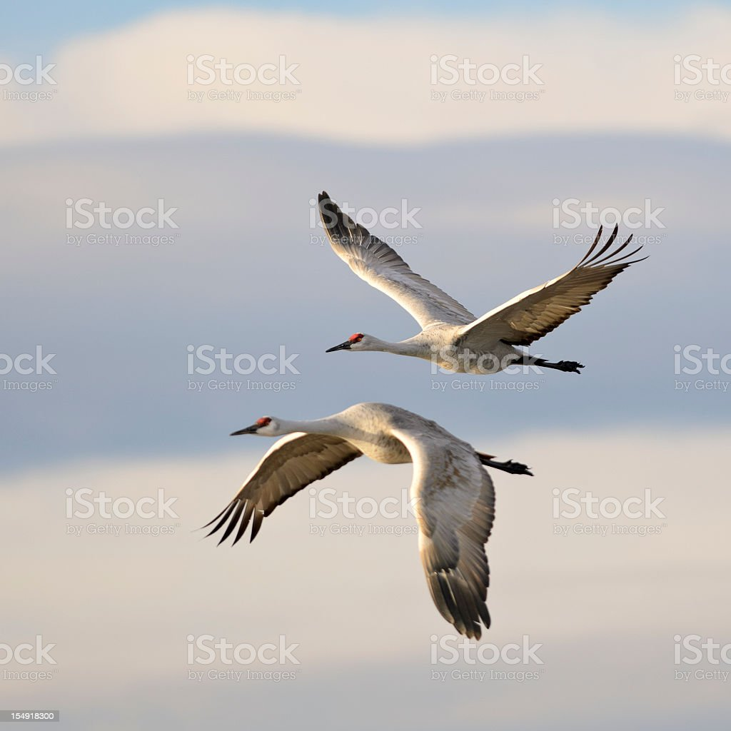 Pair of Sandhill Cranes Grus Canadensis mid-flight stock photo