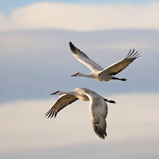 pair of sandhill cranes grus canadensis mid-flight - crane bird stock pictures, royalty-free photos & images