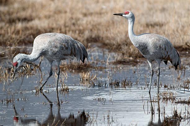 Pair of Sandhill Cranes in Colorado wetlands stock photo