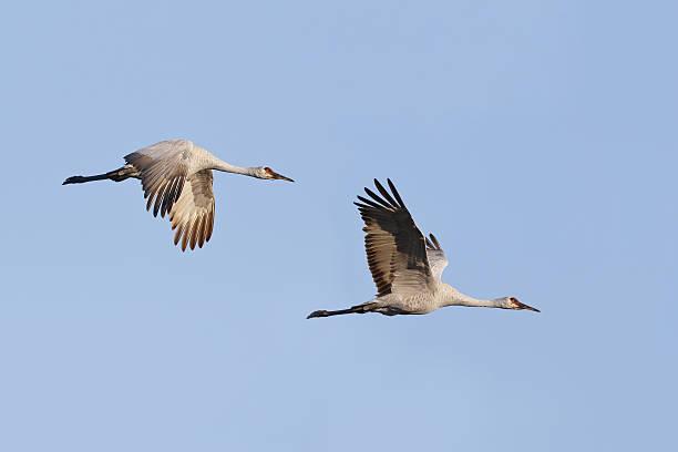 Pair of Sandhill Cranes (Grus canadensis) in flight - Gainesvill stock photo