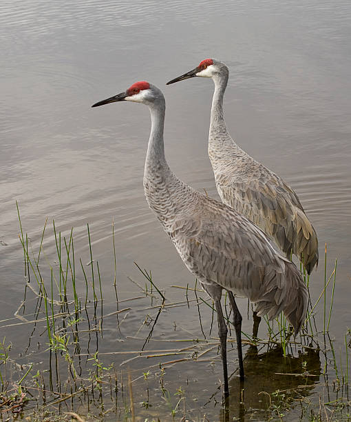 Pair of Sandhill Cranes in the water stock photo