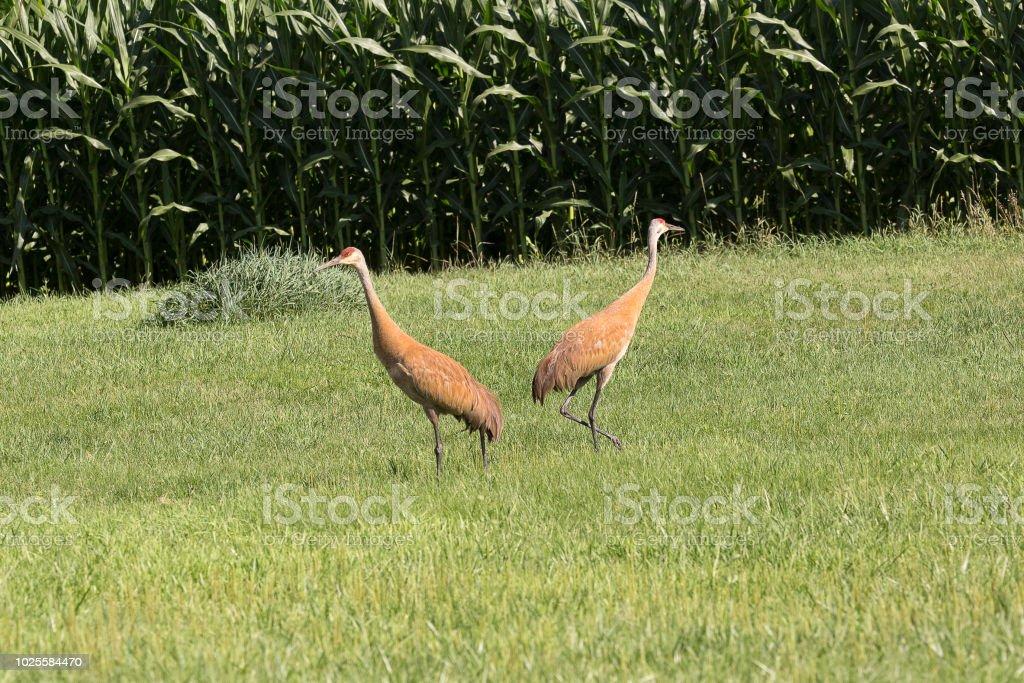 Pair of Sandhill cranes stock photo