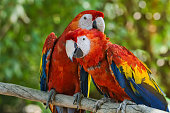 istock Pair of scarlet macaws 1187721913
