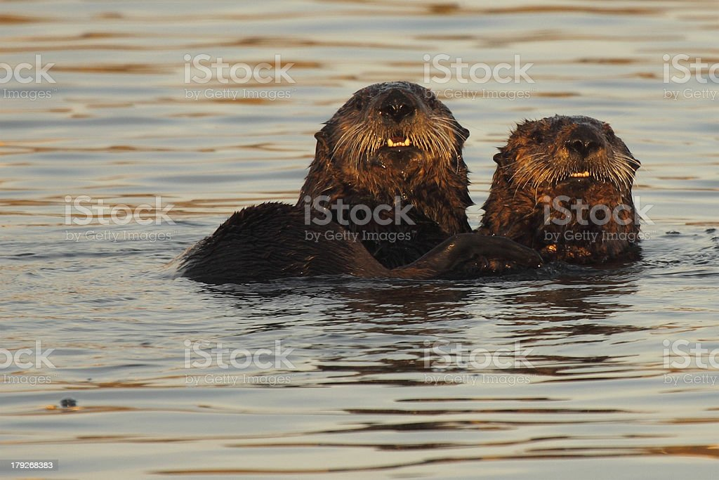 Pair Of Sea Otters royalty-free stock photo