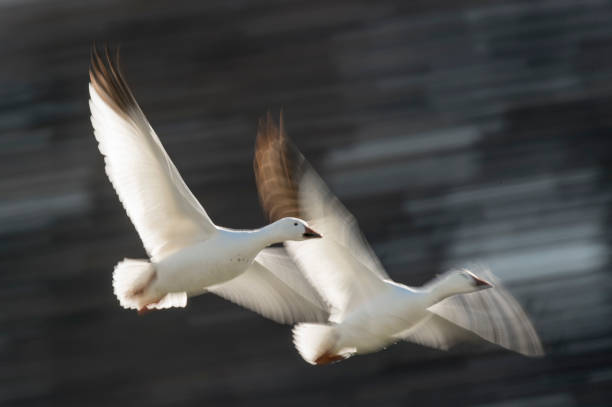 A pair of Snow Geese fly in front of a motion blurred dark tree background on a bright sunny day. A pair of Snow Geese fly in front of a motion blurred dark tree background on a bright sunny day. snow goose stock pictures, royalty-free photos & images