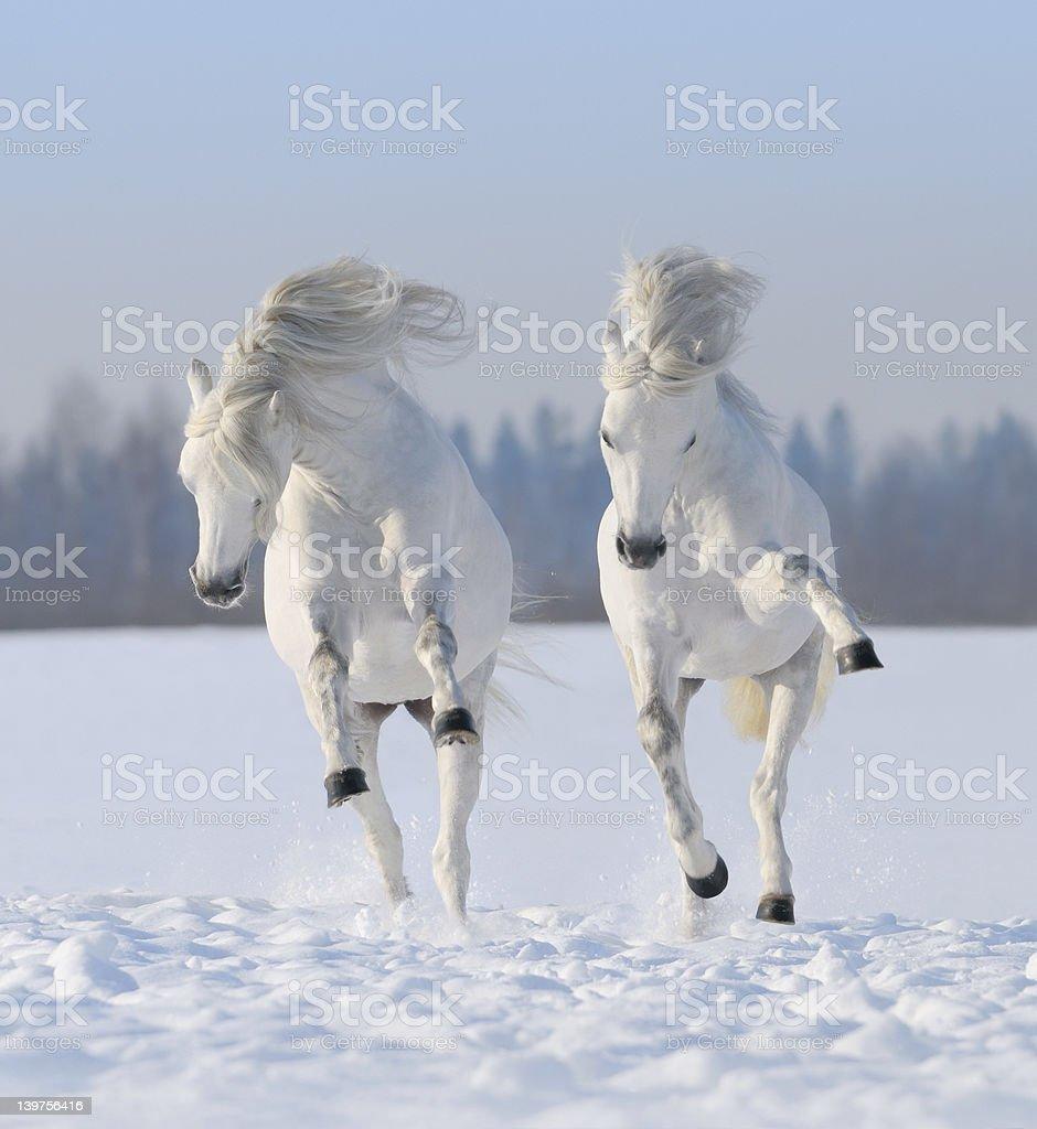 Zwei weiße Pferde galloping Schnee – Foto