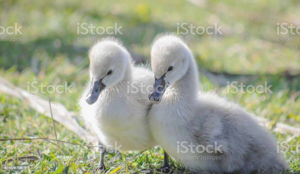 A pair of soft cute Black Swan Cygnets stock photo