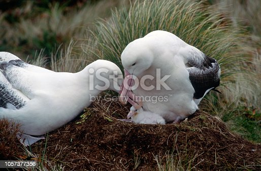 a pair of Southern Royal Albatross  at their nest on Campbell Island in the southern ocean with young chick.