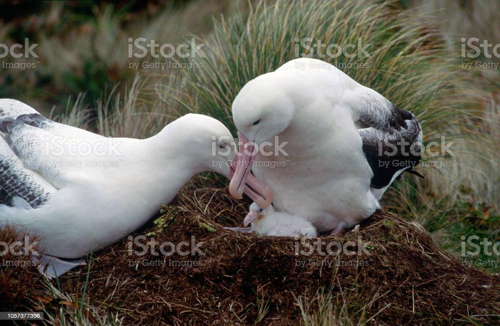 Un par de Albatross real meridional - foto de stock