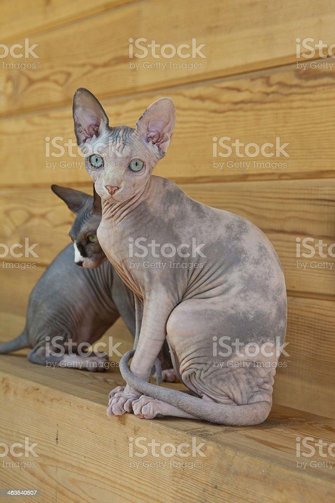 Pair of sphinx cats stock photo