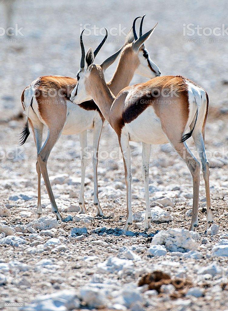 Pair of Springbok,Etosha National Park, Namibia, Africa stock photo