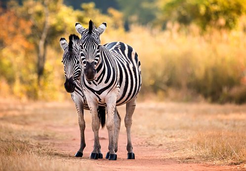 istock Pair of staring Zebra on a woodland path woodland. Swaziland 861746320