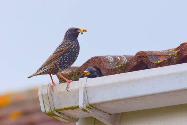 pair of starling birds close up nesting in roof stock photo