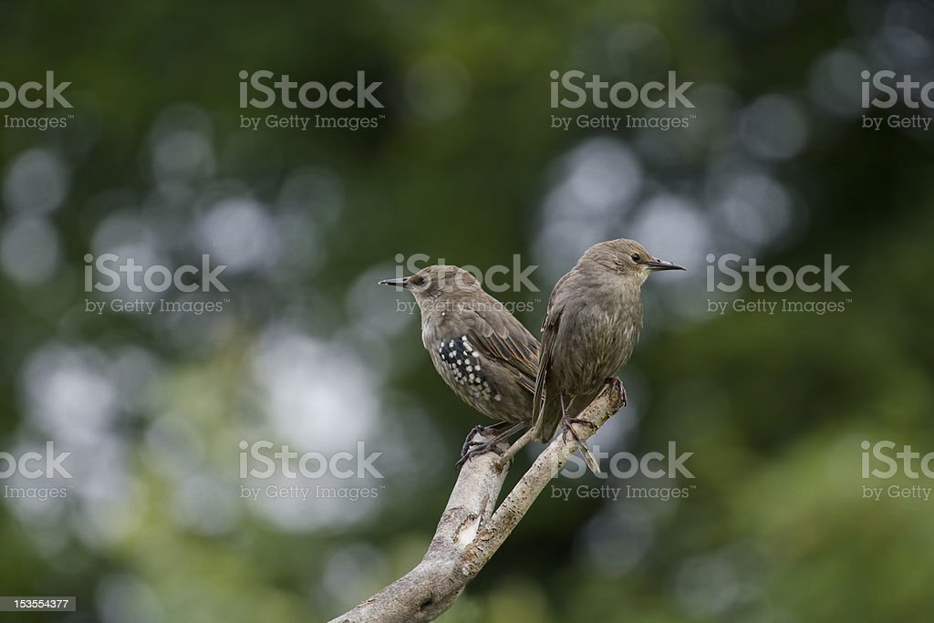 Pair of starlings royalty-free stock photo
