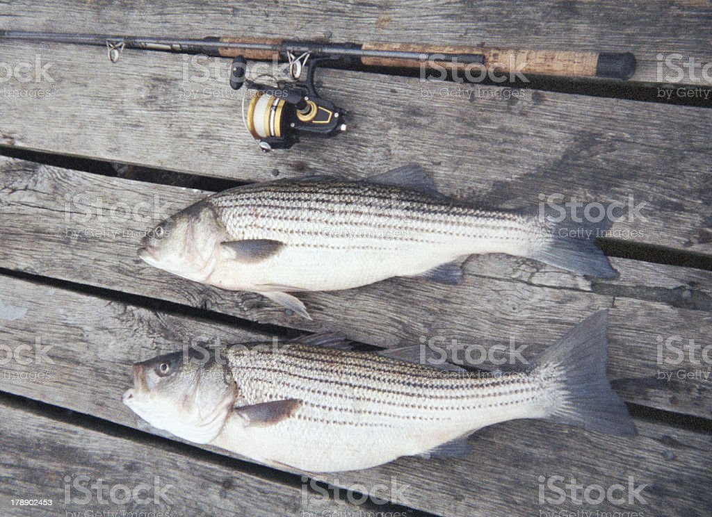 Pair of Striped Bass royalty-free stock photo