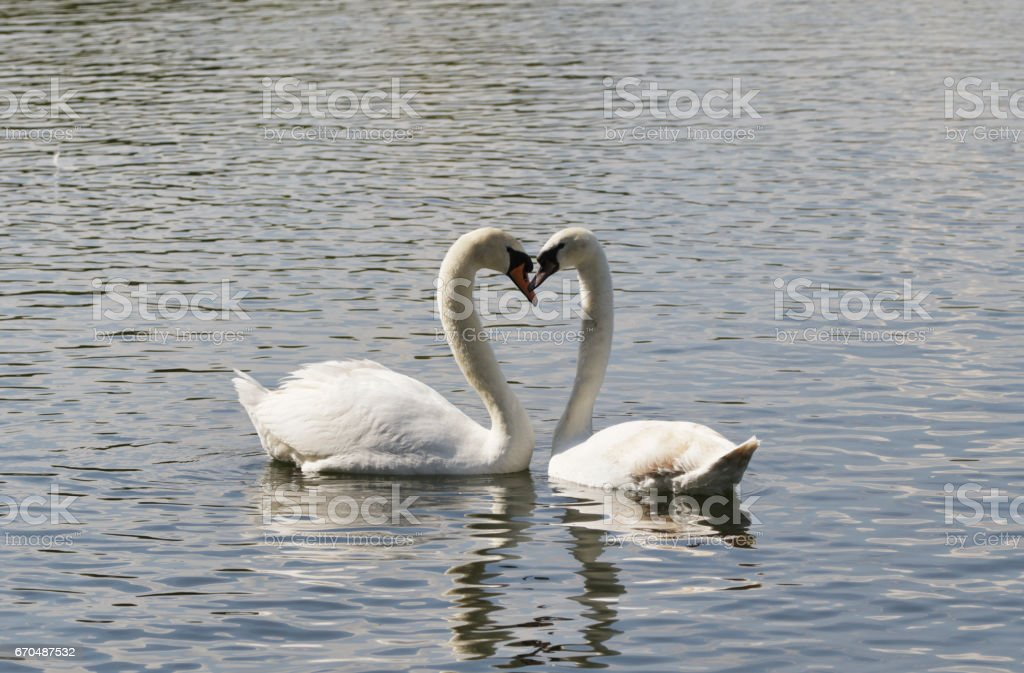 Pair of swans courtship love heart position stock photo