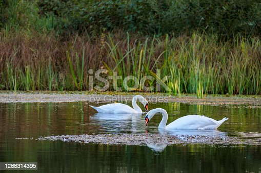 A pair of swans on a lake in the sunset light with some green and red grass in the background.