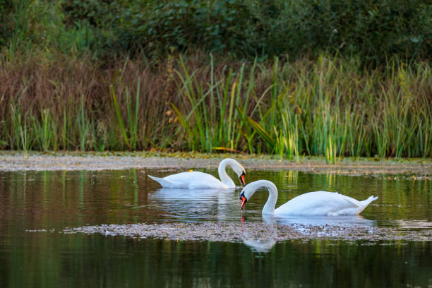 pair of swans on a lake in the sunset light with green red reed in background stock photo