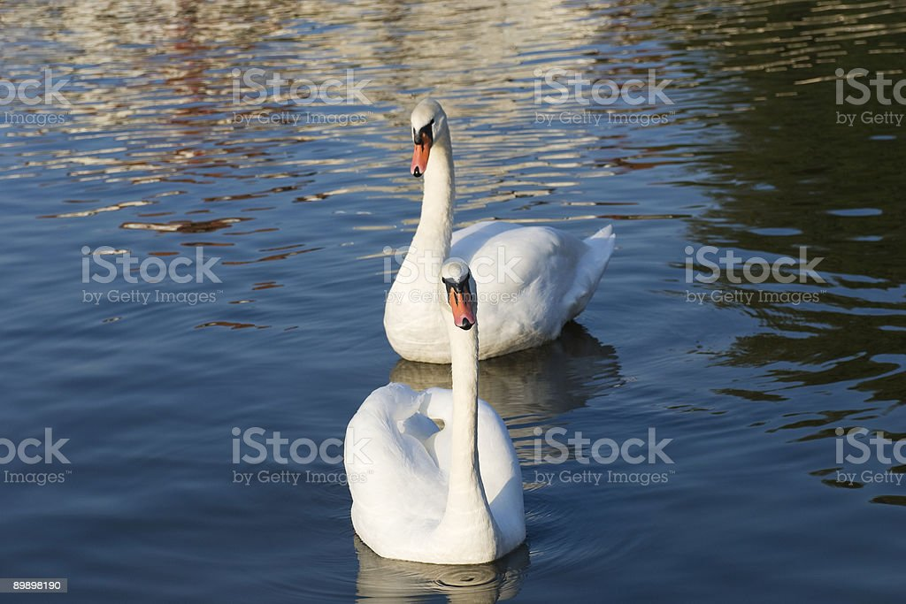 Pair of swans royalty free stockfoto