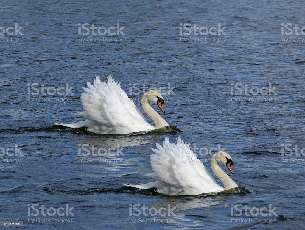 pair of swans royalty-free stock photo