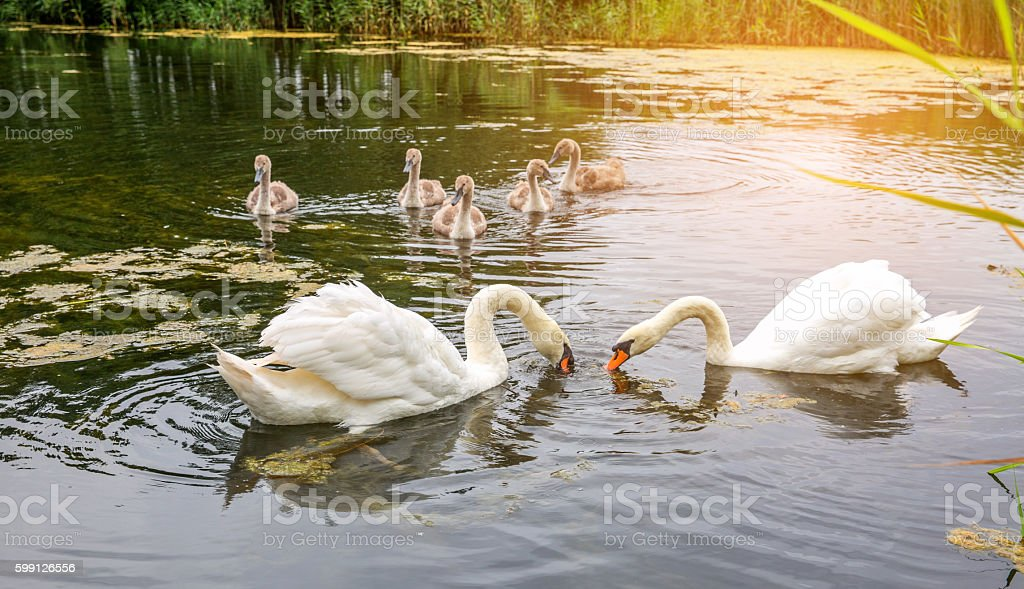 Pair of swans with their five cygnets stock photo