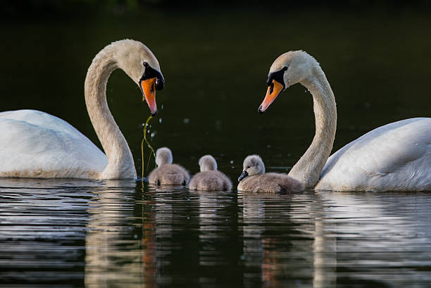 pair of swans with three cygnets in a family unit - preening - fotografias e filmes do acervo