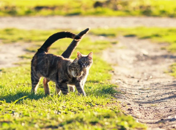pair of sweet loving cat walking on the bright green meadow in Sunny spring garden pair of sweet loving cat walking on the bright green meadow in Sunny spring garden rutting stock pictures, royalty-free photos & images