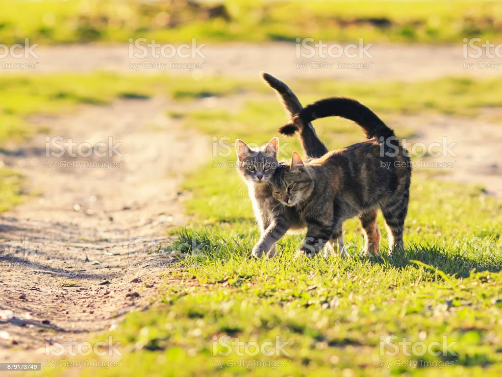 pair of sweet loving cat walking on the bright green meadow in Sunny spring garden stock photo