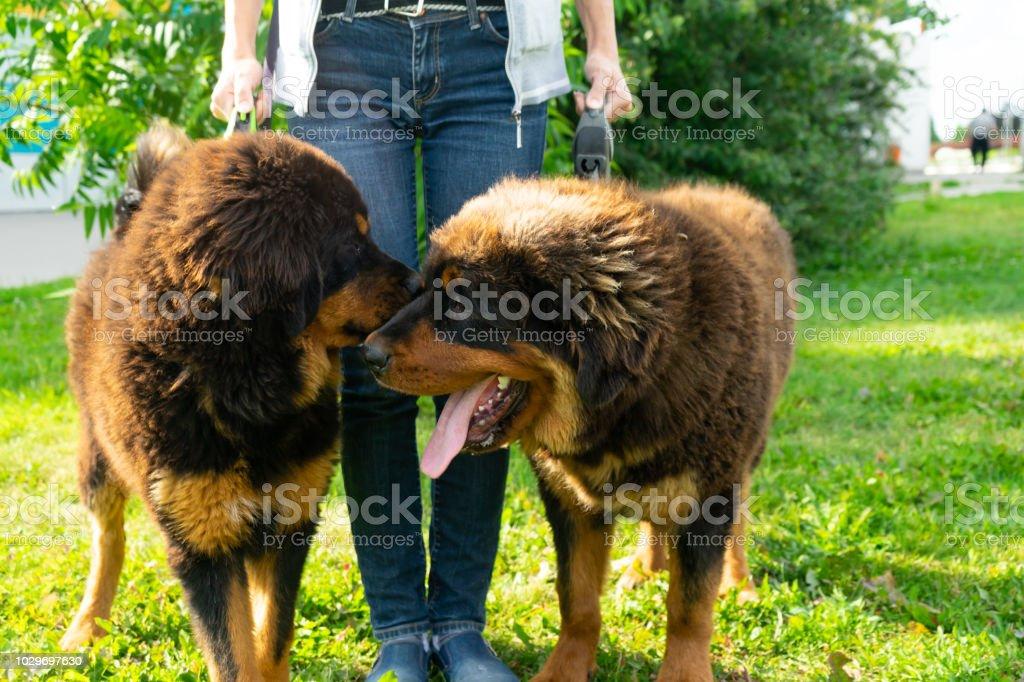 A Pair Of Tibetan Mastiff Puppies On A Walk On The Green Grass Stock