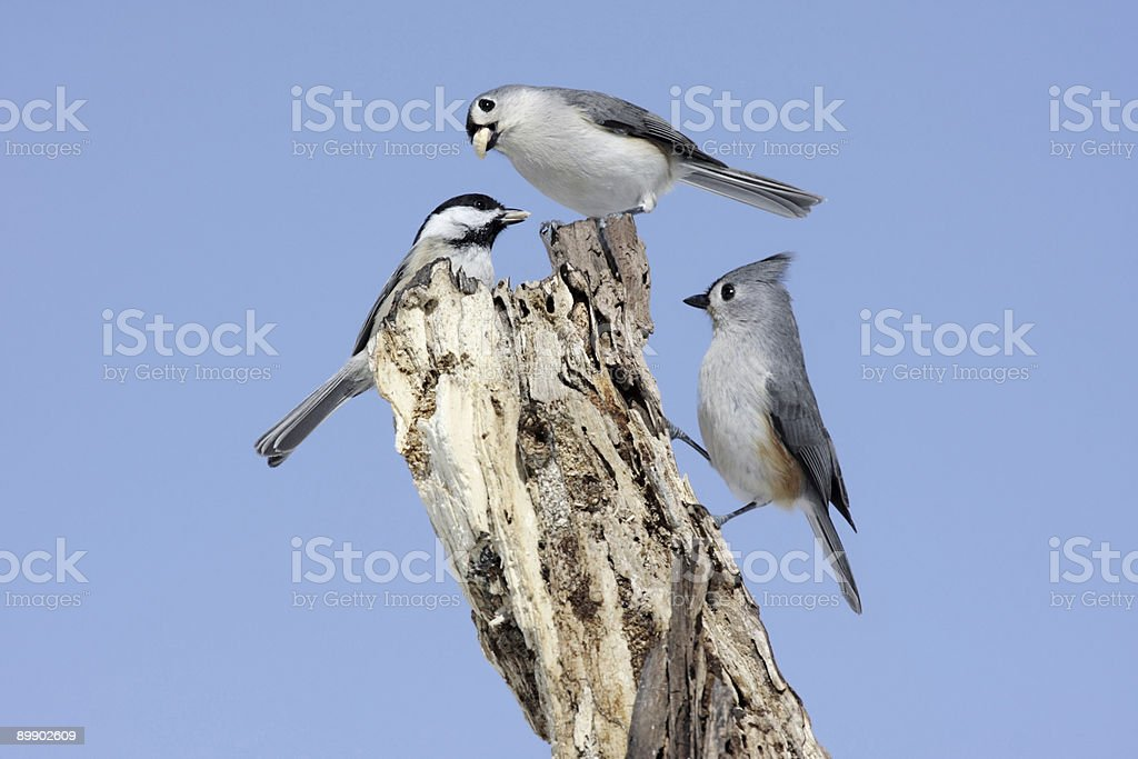 Pair Of Titmice With A Chickadee royalty-free stock photo