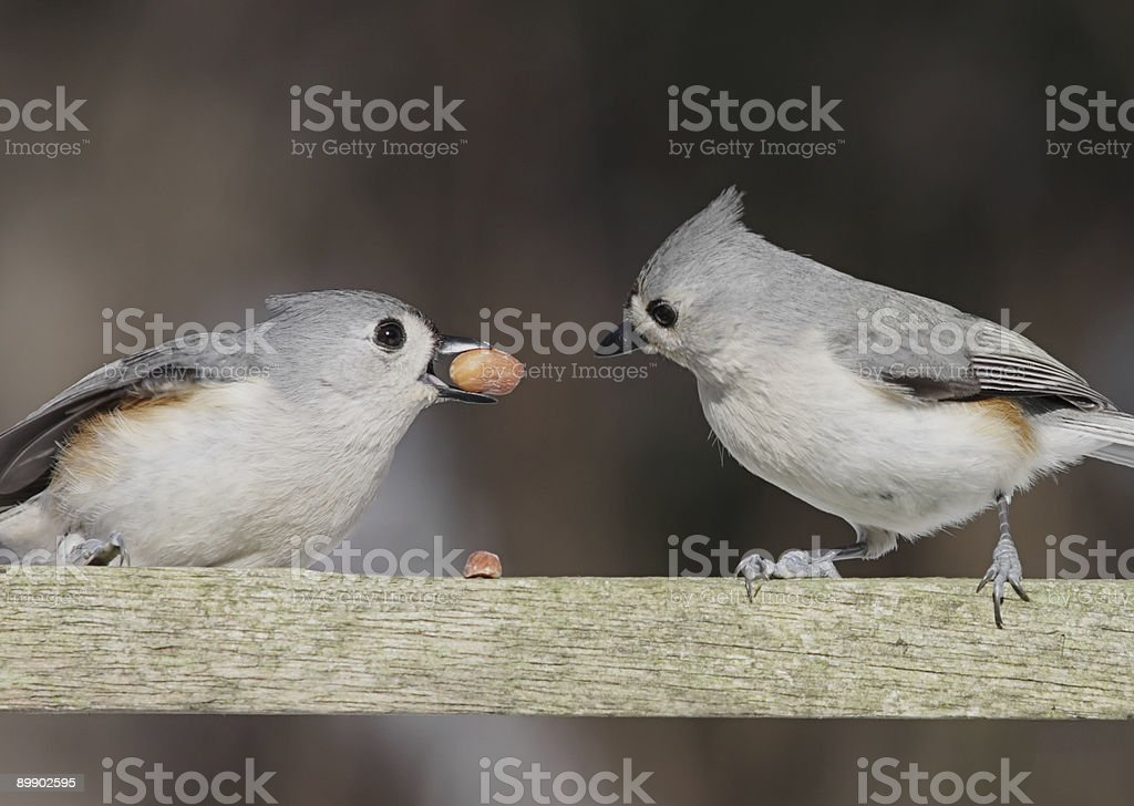 Pair Of Titmice With A Peanut royalty-free stock photo