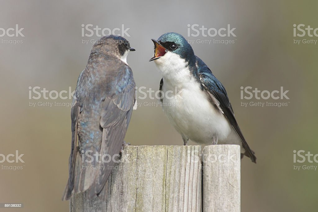 Pair of Tree Swallows Fighting royalty-free stock photo