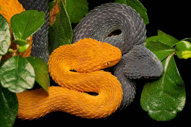 Paar variable Bush Vipers (Atheris squamigera)- Orange weiblich und schwarz männlich – Foto