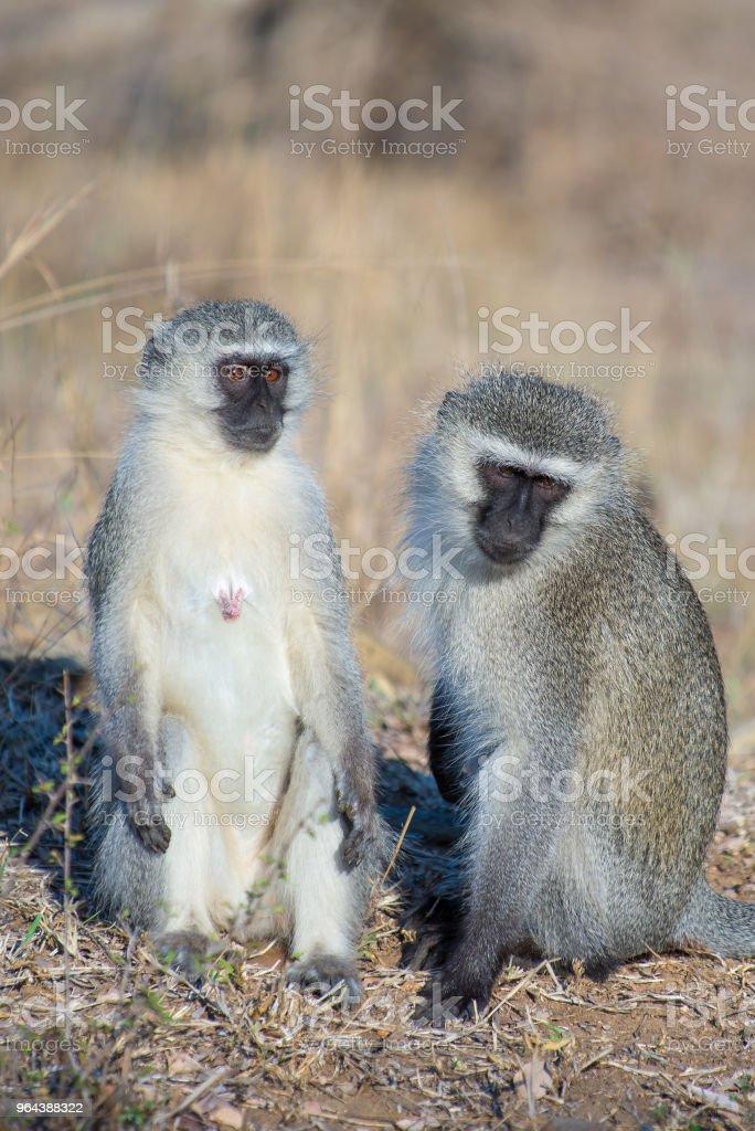Par de vervet monkies no chão - Foto de stock de Fotografia - Imagem royalty-free
