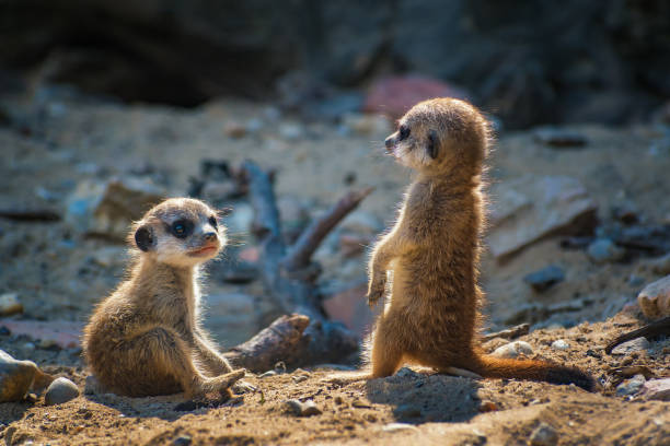 pair of very young suricate pups standing on the sand (suricata suricatta) - meerkat stock photos and pictures