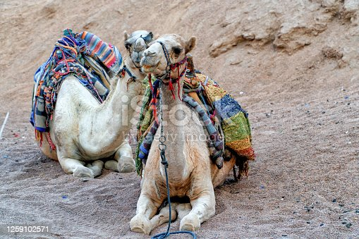 883177796 istock photo A pair of walking camels rest in the Egyptian Sahara desert before a long tourist excursion. 1259102571