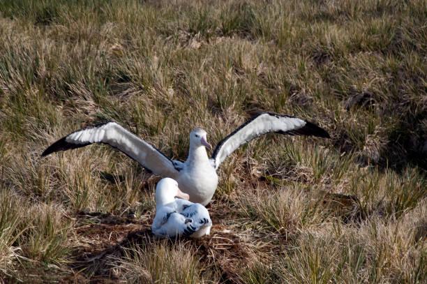 Pair of wandering albatross nesting in the grass stock photo